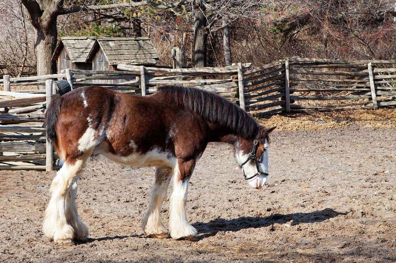 15 facts about clydesdale horse