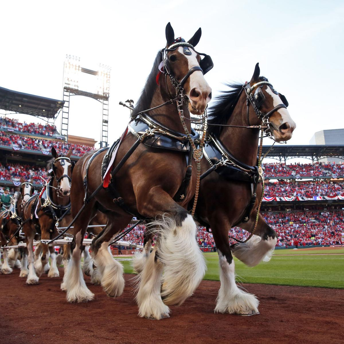 History of the budweiser clydesdale