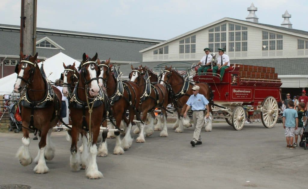 Clydesdale Budweiser horse