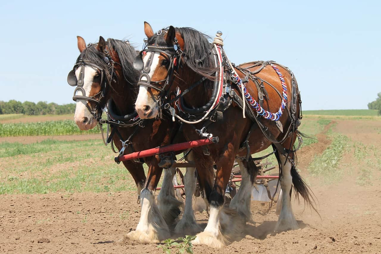 history of the clydesdale horse